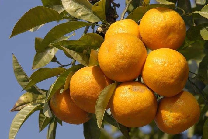 Овощи и фрукты. Апельсин сладкий.