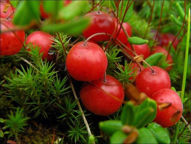 Полезные ягоды. Свойства клюквы.