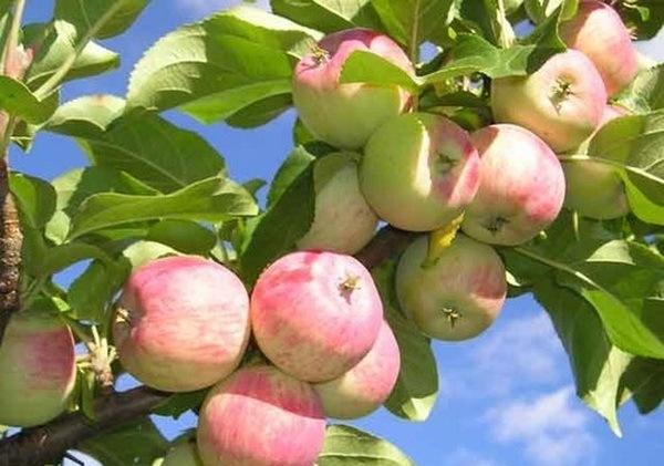 Овощи и фрукты. Яблоня - любимое дерево России.