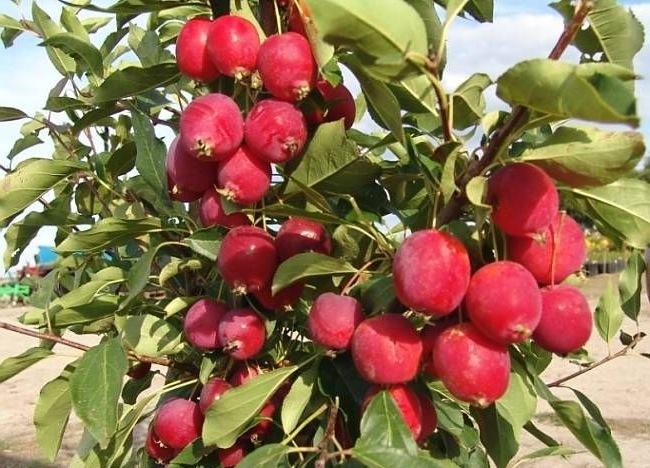 Овощи и фрукты. Райские яблоки.