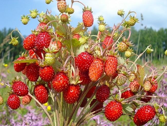 Полезные ягоды. Свойства земляники.